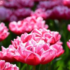 spring/春一番/春/Flower/flowers/チューリップ/... これ実はチューリップなんですよ! 「牡丹…