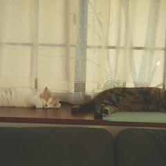 LIMIAペット同好会/フォロー大歓迎/ペット/ペット仲間募集/猫/にゃんこ同好会/... 二人で爆睡💞