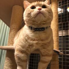 マンチカン/猫/短足猫/うちの子ベストショット マンチカン♂小太郎です。 たまにこんな投…