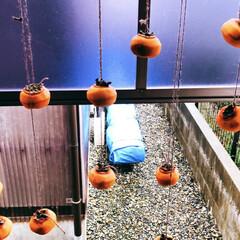 手作り/旬/干し柿/柿 柿を頂いたので干し柿に挑戦💪 紐をくくる…