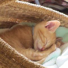 茶トラ猫 家の猫名前は きな子 生後4か月