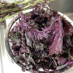保存食/色づけ/赤紫蘇/梅仕事/梅干し/節約 毎年梅干しをつけてます。 赤紫蘇でついに…
