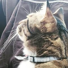 デカ猫/いぬとねこがいる生活/くるみ/きじとら くっちゃんのかわいい横顔か撮れました🤗❤…
