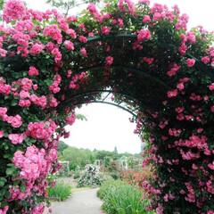 スローライフ/ガーデニング/おでかけ/バラ園/千葉/京成バラ園/... 美しく、プレゼントにもよく選ばれるバラの…