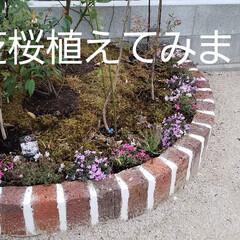 ブルーベリー/モロヘイヤ/カブ/ズッキーニ/ルッコラ/赤しそ/... 芝桜植えてみました! 種をまいて三週間ち…