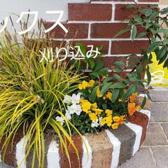 刈り込み/園芸/赤ちゃんのいる暮らし/住まい/カレックス カレックスは多年草です。 急に花がさいて…
