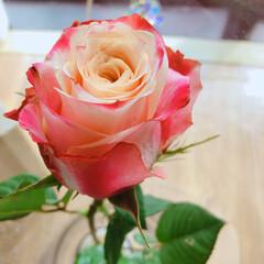 薔薇/暮らし 10月のアフリカンローズ🌹  毎月1輪の…(2枚目)