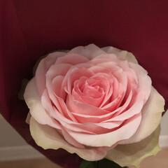 薔薇 今月のアフリカンローズ✨✨✨