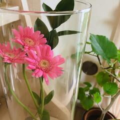 今週の花/ガーベラの花 今週はガーベラ  ピンク可愛い💕  雨の…(2枚目)