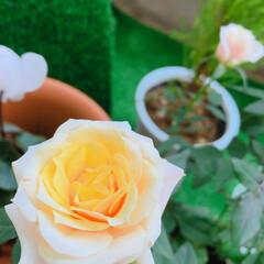 薔薇 冬の薔薇 サロンのベランダ