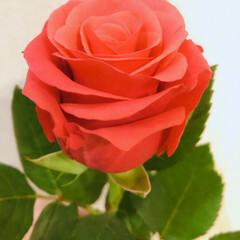 薔薇 今月のアフリカンローズ 元気でパワフル