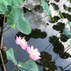 花/蓮の花/風景 今年は日照時間が短くて あまり咲かなかっ…(2枚目)