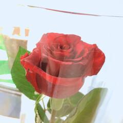 薔薇 今月のアフリカンローズ 真紅の美しさ✨ …(3枚目)