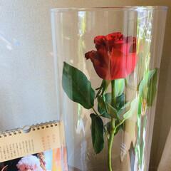 薔薇 今月のアフリカンローズ 真紅の美しさ✨ …