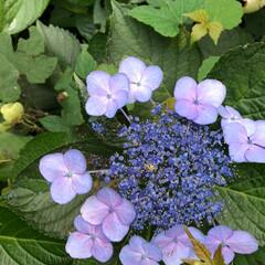 花/蓮の花/風景 今年は日照時間が短くて あまり咲かなかっ…(6枚目)