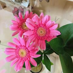 今週の花/ガーベラの花 今週はガーベラ  ピンク可愛い💕  雨の…