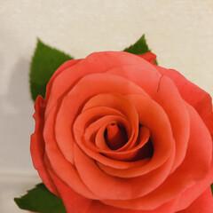 薔薇 今月のアフリカンローズ 元気でパワフル(2枚目)
