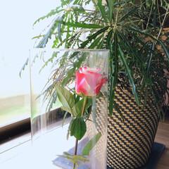 薔薇/暮らし 10月のアフリカンローズ🌹  毎月1輪の…(4枚目)