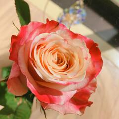 薔薇/暮らし 10月のアフリカンローズ🌹  毎月1輪の…(1枚目)