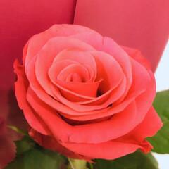 薔薇 今月のアフリカンローズ 元気でパワフル(3枚目)