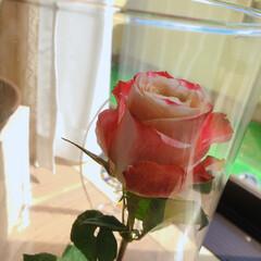 薔薇/暮らし 10月のアフリカンローズ🌹  毎月1輪の…(3枚目)