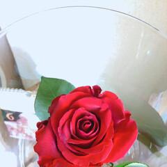 薔薇 今月のアフリカンローズ 真紅の美しさ✨ …(2枚目)