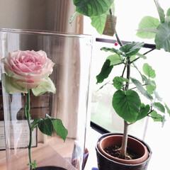 薔薇 12日目のアフリカンローズです🌹  色褪…