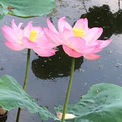 花/蓮の花/風景 今年は日照時間が短くて あまり咲かなかっ…