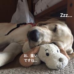 ラブラドールレトリバー/ペット/犬/わんこ同好会/おやすみショット 大好きなお気に入りのぬいぐるみと一緒にス…