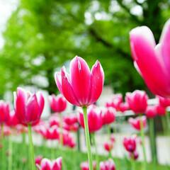 待ち遠しい/チューリップ/花/おでかけ 春を待ってます🌷  沢山写真撮りたいな😃