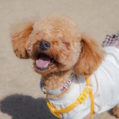 犬好きな人と繋がりたい/トイプードル部/トイプードル/LIMIAペット同好会/フォロー大歓迎/ペット/... 満面の笑み(﹡ˆ﹀ˆ﹡)♡ 楽しそう💕