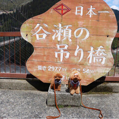 トイプードル/令和の一枚/フォロー大歓迎/LIMIAファンクラブ/LIMIAペット同好会/わんこ同好会/... 日本一の吊り橋!