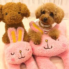 トイプードル赤ちゃん/親バカ部/犬好きな人と繋がりたい/トイプードル/LIMIAペット同好会/フォロー大歓迎/... ぬいぐるみになりきり中 (*´罒`*)♥…