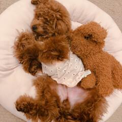 犬好きな人と繋がりたい/トイプードル部/親バカ部/トイプードル/LIMIAペット同好会/フォロー大歓迎/... どんな夢みてるのかな (///ω///)…