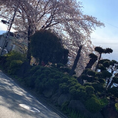 桜/暮らし こんな時ですが・・・ 桜を見ると嬉しくな…