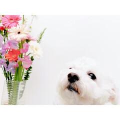生活の知恵/花のある生活/春の草花/乙女犬/しろくま犬/しろくまパフィー/... 春だねぇ。 乙女なパフィー先輩の春