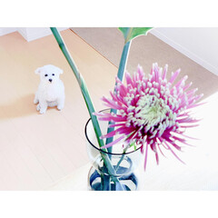 乙女/春の草花/花のある生活/生活の知恵/しろくま犬/しろくまパフィー/... 身も心も乙女…♡