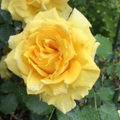 薔薇/暮らし 雨に濡れたゴールドバニー 雨に濡れると色…