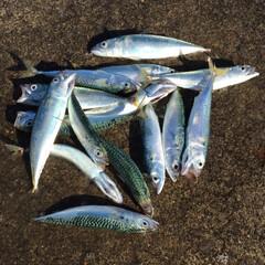 鯖/サバ/釣果/釣り/小樽 今日の釣果はこの後4匹釣れて合計19匹だ…