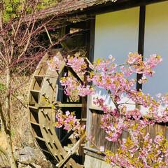 フォーゲルパーク/春/水車/桜/小さい春 咲きかけの桜と水車