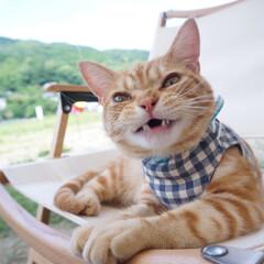 キャンプ/アウトドア/キャンプ猫/うちの子ベストショット キャンプでご機嫌♪ お出かけできてニコニ…