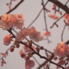 小さい春 もうすぐ満開!  3月の夕方。