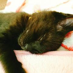 愛猫/くろねこ/保護猫/ねこ/うちの子ワンショット/うちの子おやすみZzzショット/... これは保護して2ヵ月程のみかん。 上手に…
