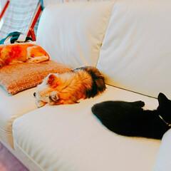 うちの子おやすみZzzショット/チワワ/保護猫/いぬ/ねこ/LIMIAペット同好会/... ネコがおチビの頃は常に一定間隔空いてたけ…