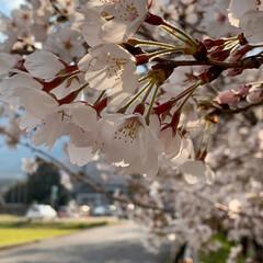 春の一枚 家の前の桜並木  満開です 庭では鳴子百…