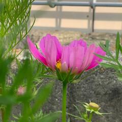 みんなにおすすめ コスモスの花が咲き始めました バラが終わ…