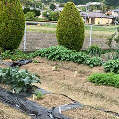 平成最後の一枚 平成最後の日  はたけの野菜達もすくすく…(1枚目)