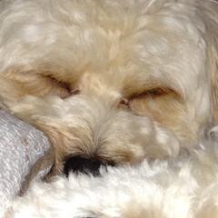 おやすみショット チワプーのぐりです。 お気に入り寝顔です。