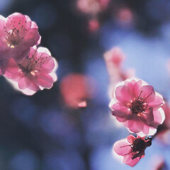 iPhone7Plus/春/梅/風景/小さい春 ピンクの梅の花。