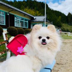 入学式/桜/LIMIAペット同好会/ポメラニアン/愛犬/ハンドメイド お姫ちゃん地方の桜🌸が満開になりました😊…